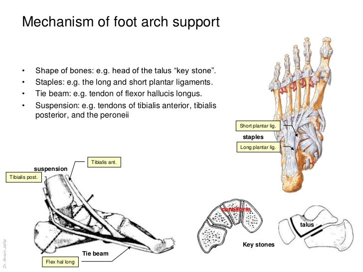 Anatomy of The ... Foot Arch Muscles