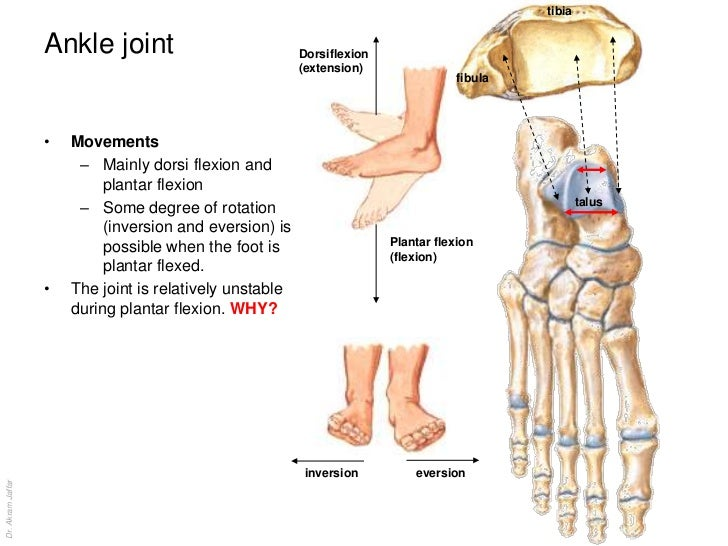 Plantar Flexion Definition Anatomy