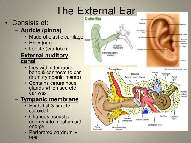 The External Ear  Consists of  Ear Cartilage Anatomy