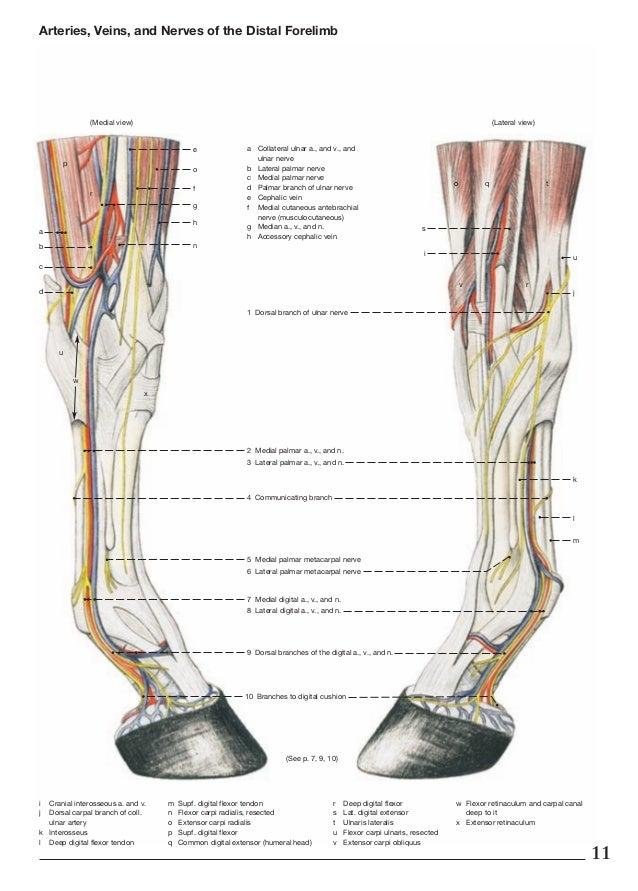 Anatomy of horse leg