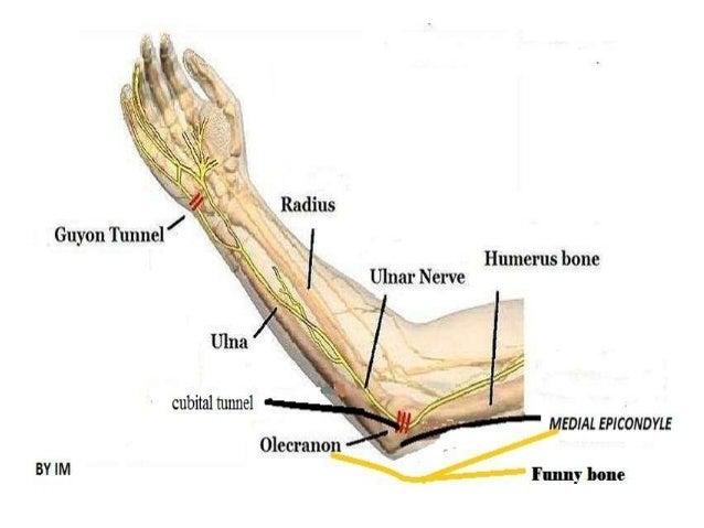 Anatomy of ulnar Nerve (Ulnar Nerve Anatomy)