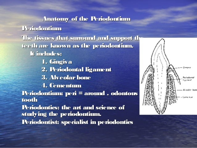 Anatomy of the PeriodontiumAnatomy of the PeriodontiumPeriodontiumPeriodontiumThe tissues that surround and support theThe...