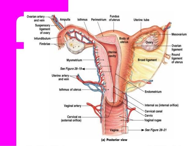 Anatomy of female genitalia