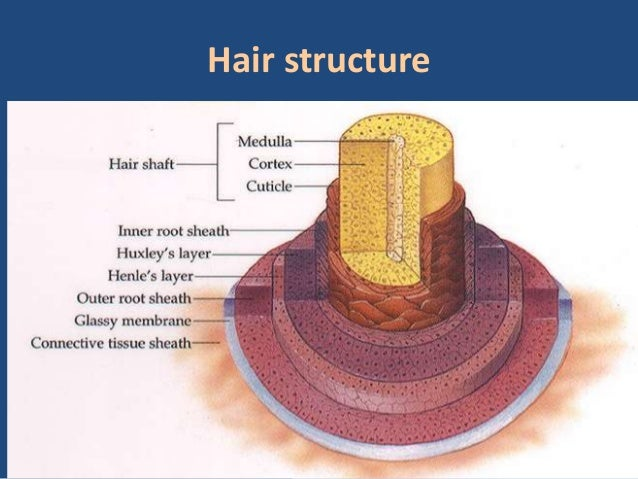 Hd Wallpapers Hair Structure Diagram Cgfhb