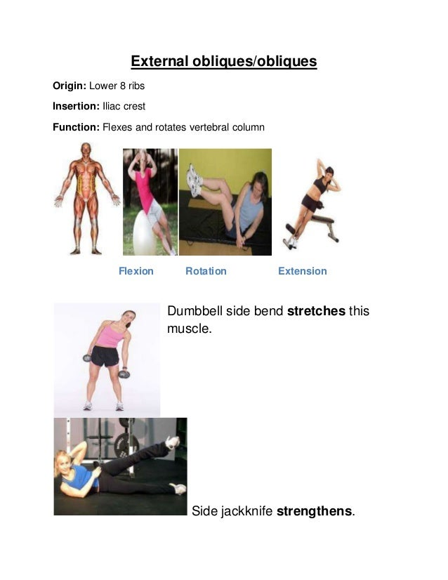 External obliques/obliquesOrigin: Lower 8 ribsInsertion: Iliac crestFunction: Flexes and rotates vertebral columnFlexion R...