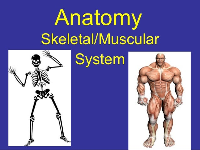 Anatomy Skeletal/Muscular System