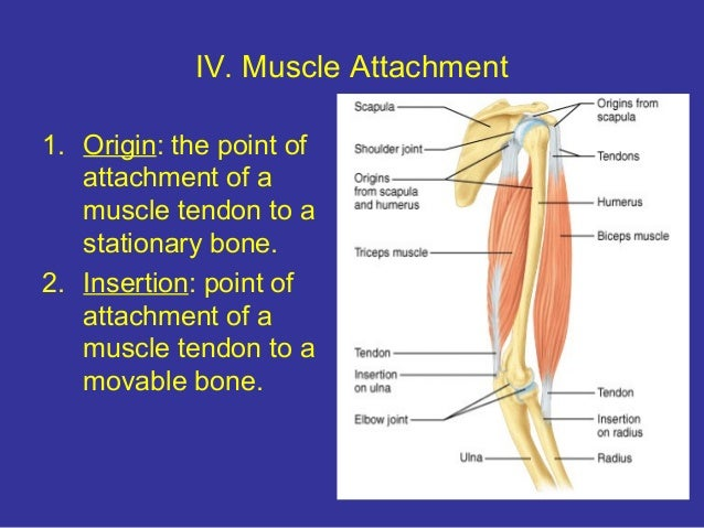 the skeletal attachment of tendons-tendon enthesis Where tendons and ligaments meet bone: attachment sites have shown that the  normal rat achilles tendon enthesis is ) the skeletal attachment of tendons.
