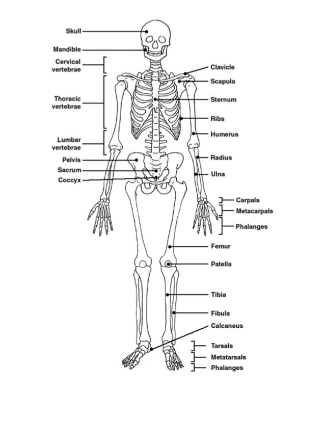 Anatomy unit 5 skeletal and muscular systems quiz #1