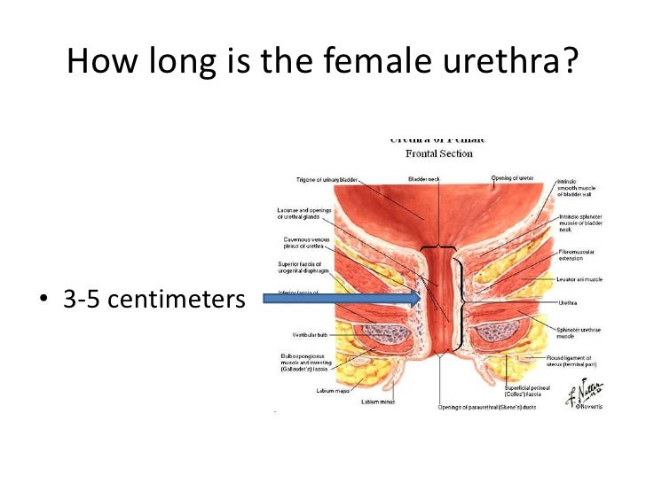 Vaginal canal anatomy
