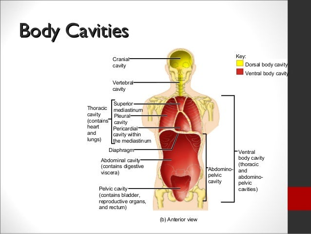 1356501 together with Respiratory System 3 likewise Human body cavities additionally Anatomy Week 1edited additionally Mammals. on body cavities and organs in them