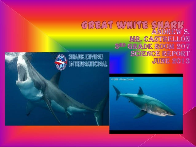  The great white shark's habitat is thePacific , Atlantic and Indian Oceans. Allover the world.