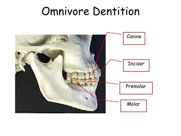 Omnivore Teeth Structure | Gallery