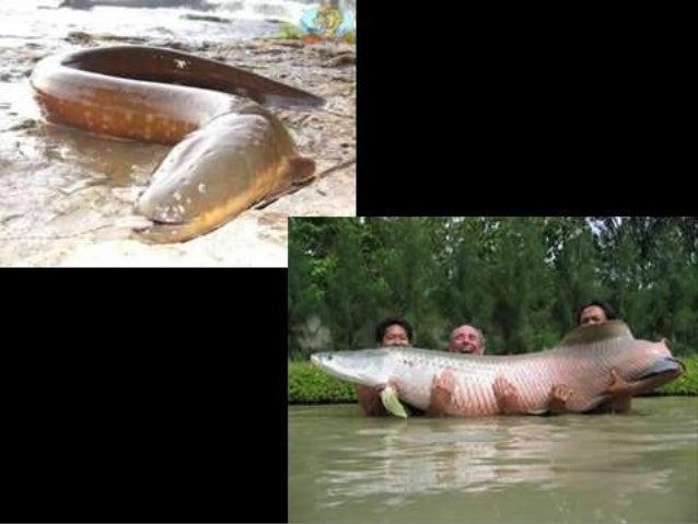 ANFÍBIOS• Primeiros animais a conquistarem o ambiente  terrestre• Ainda apresentam forte dependência ao  ambiente aquático...