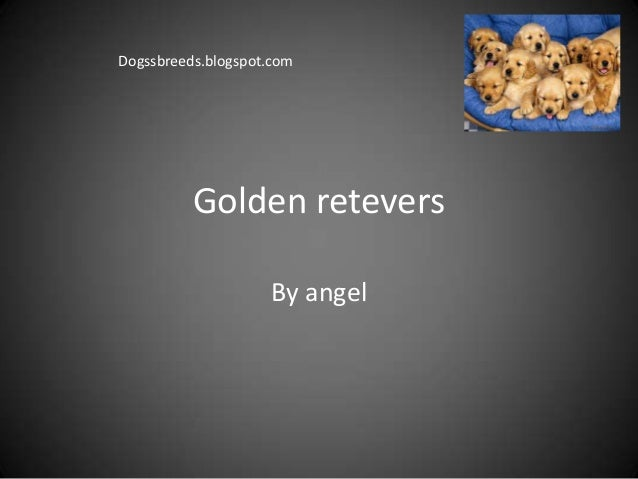 Golden reteversBy angelDogssbreeds.blogspot.com