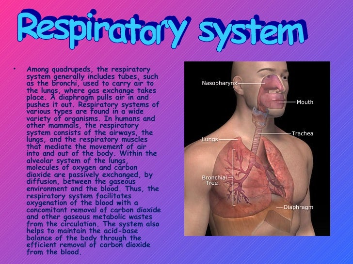 <ul><li>Among quadrupeds, the respiratory system generally includes tubes, such as the bronchi, used to carry air to the l...