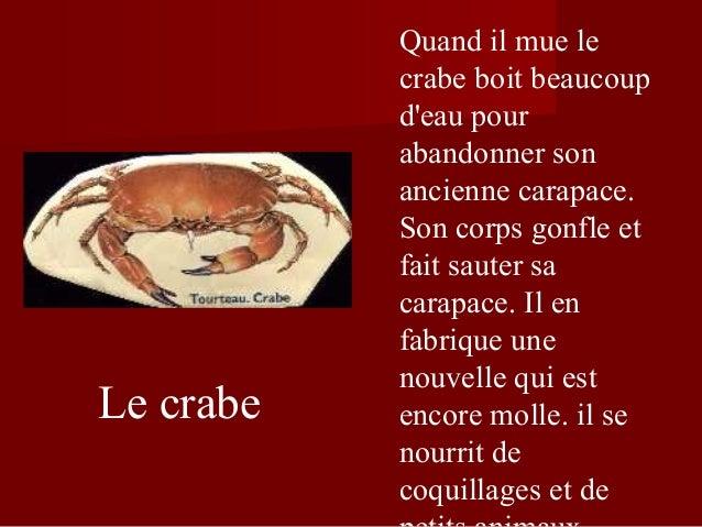 Le crabe Quand il mue le crabe boit beaucoup d'eau pour abandonner son ancienne carapace. Son corps gonfle et fait sauter ...