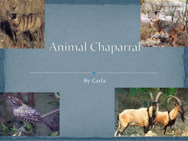 Animal chapparal carla
