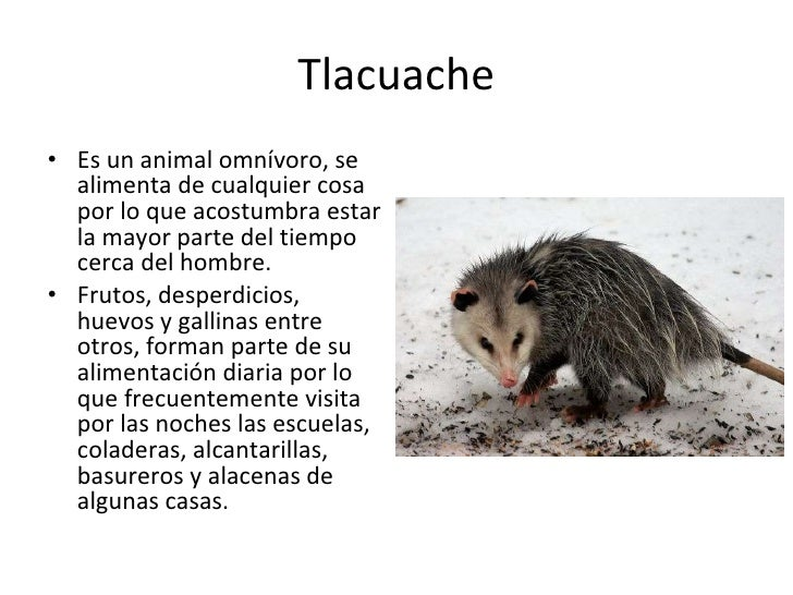 Tlacuache In English