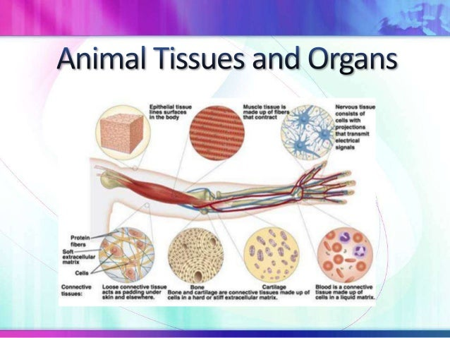STPM Form 6 Biology Animal Organs and Tissues