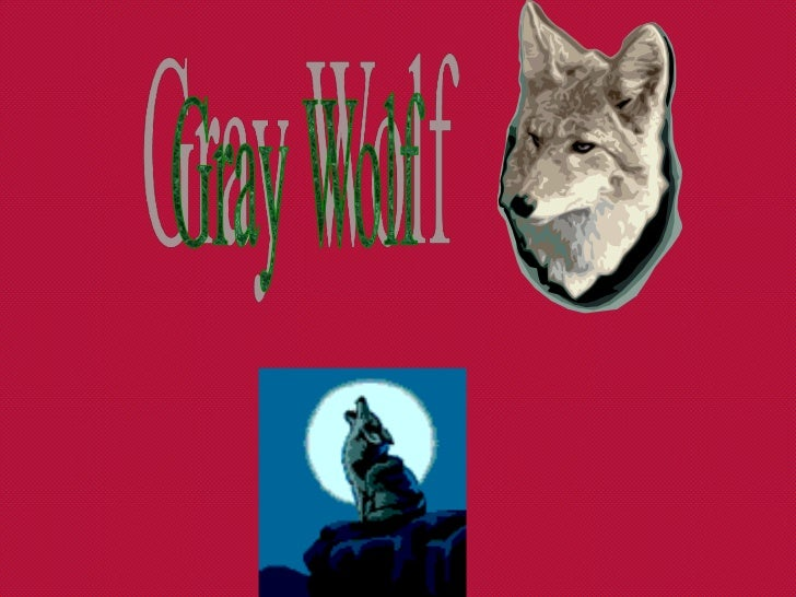 Description• The wolf is the largest member of the  canine family. Gray wolves range in color  from grizzled gray or black...