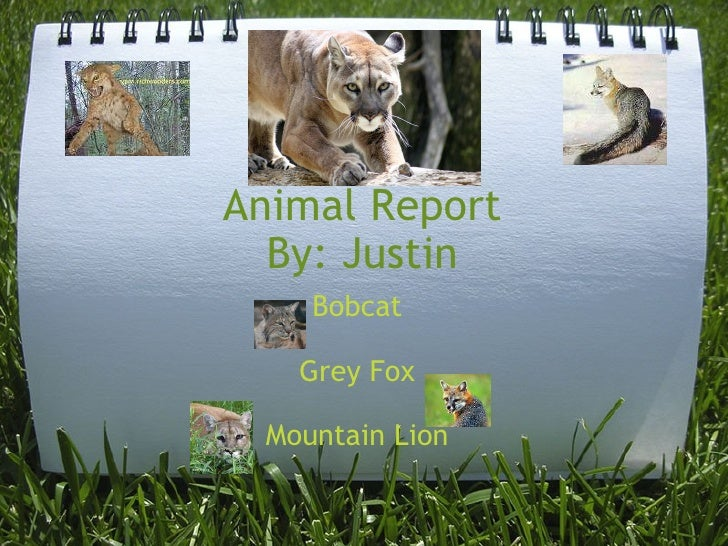 Animal Report By: Justin Bobcat Grey Fox Mountain Lion