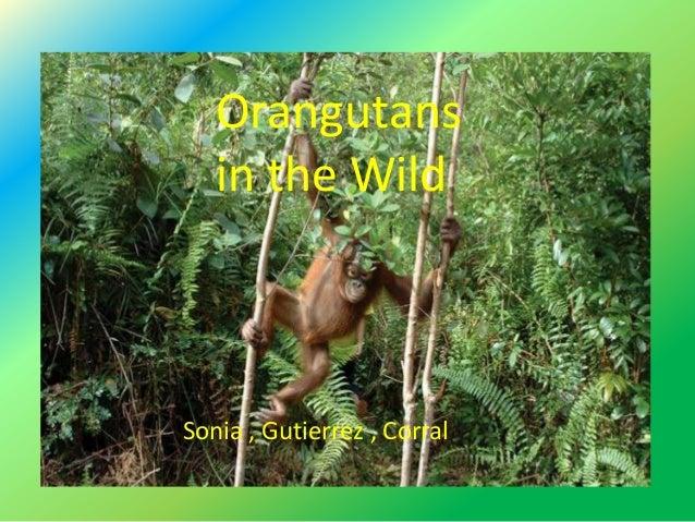 Wild live about Orangutans Sonia-Gutierrez-Corral Orangutans in the Wild Sonia , Gutierrez , Corral