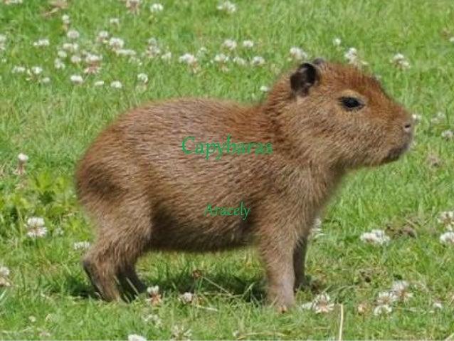Capybaras Aracely