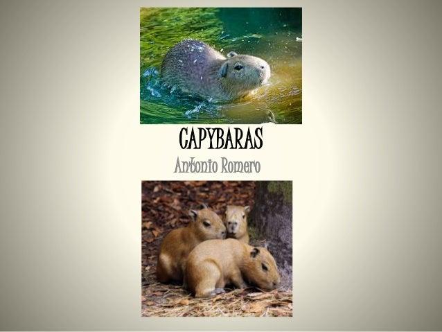 CAPYBARAS Antonio Romero