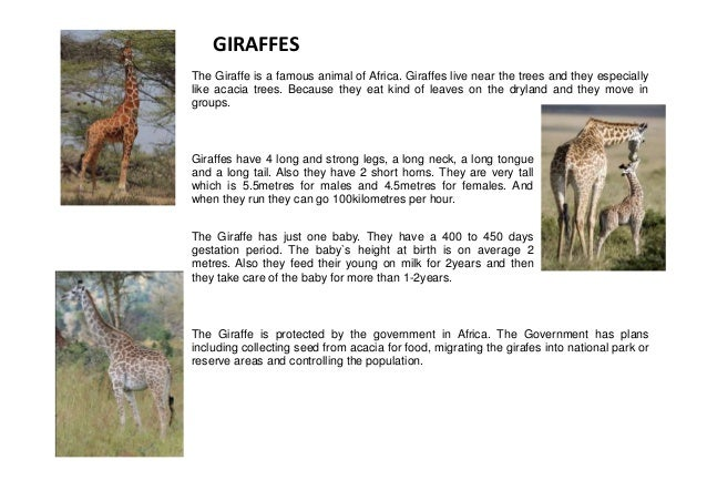 GIRAFFES The Giraffe is a famous animal of Africa. Giraffes live near the trees and they especially like acacia trees. Bec...