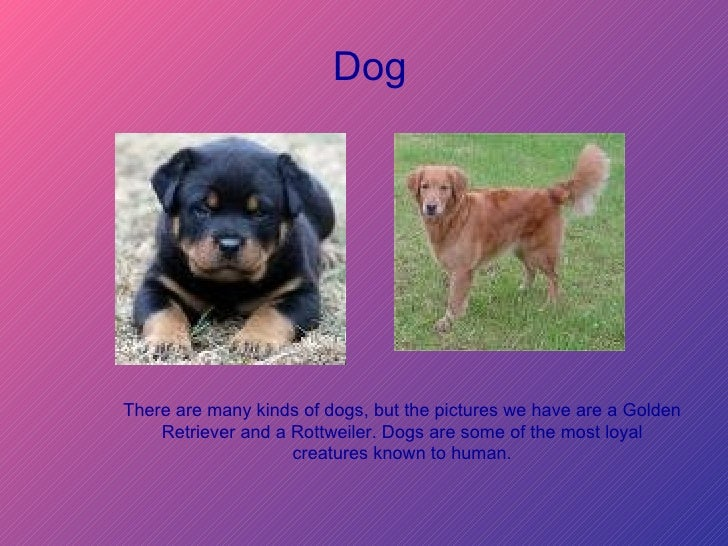 There are many kinds of dogs, but the pictures we have are a Golden Retriever and a Rottweiler. Dogs are some of the most ...