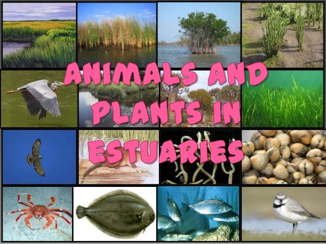 Plants that survive in anestuarine are calledhydrophytes, because theylive in water. The fourtypes of cord grass, whichis ...