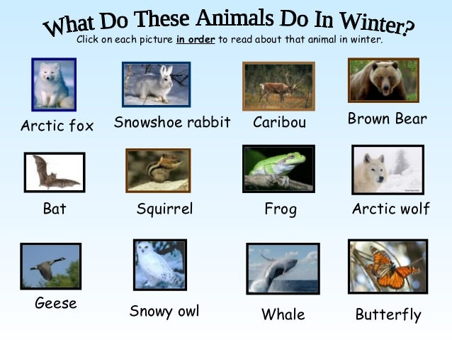 Click on each picture in order to read about that animal in winter.                 Snowshoe rabbit               Caribou ...