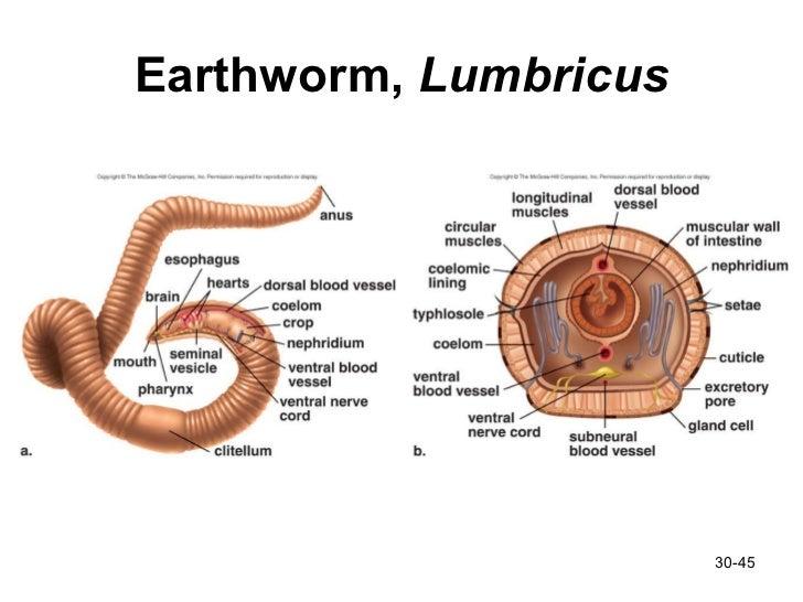 Lumbricus clitellum