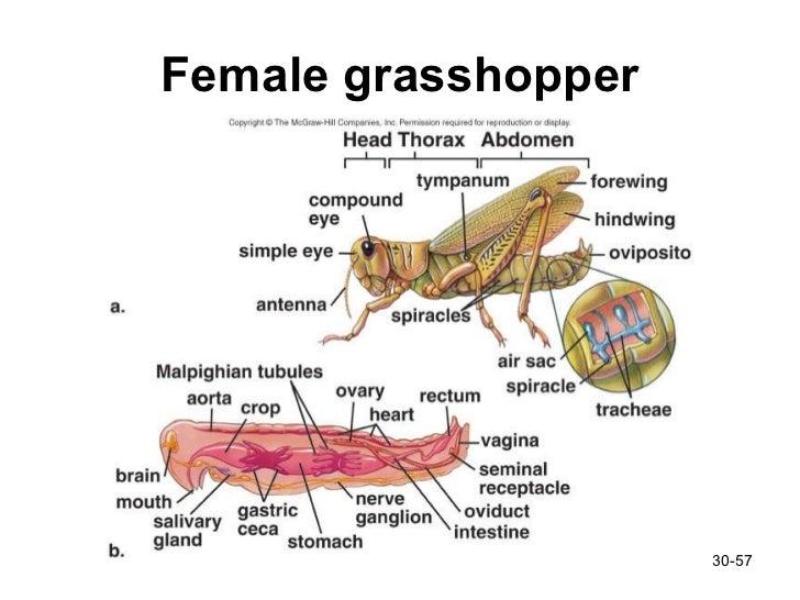 Female Grasshopper Diagram - DIY Wiring Diagrams •