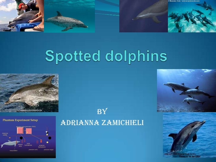 Spotted dolphins<br />By <br />By<br />Adrianna Zamichieli<br />