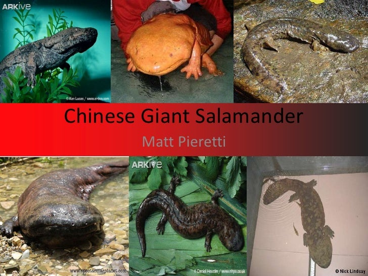 Chinese Giant Salamander<br />Matt Pieretti<br />