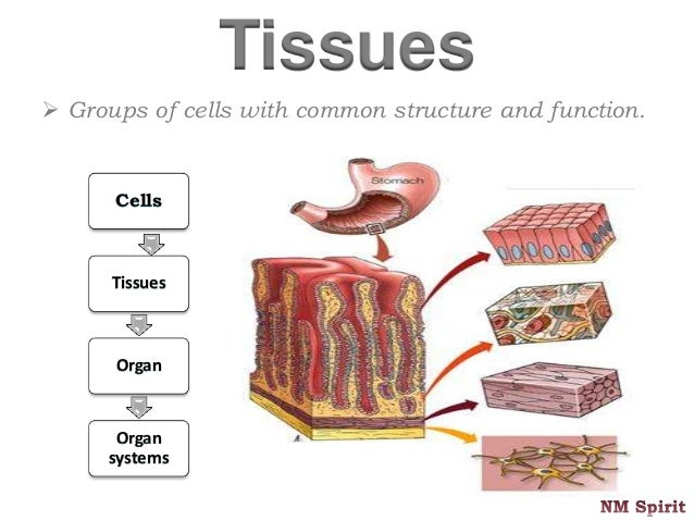 Peritoneum Slides together with 1406277 likewise Exercise 6 Ap Lab moreover Animal Tissues 35864341 likewise Main Organ In The Muscular System Muscle System. on body cavities and organs