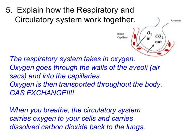 explain how the respiratory and circulatory Circulatory system for kids - interesting videos, lessons, quiz games, interactive diagrams, presentations and activities on human circulatory system.