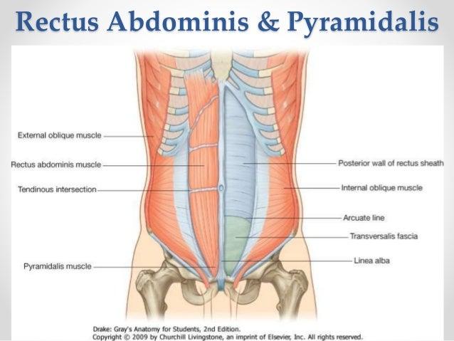 how to train rectus abdominis