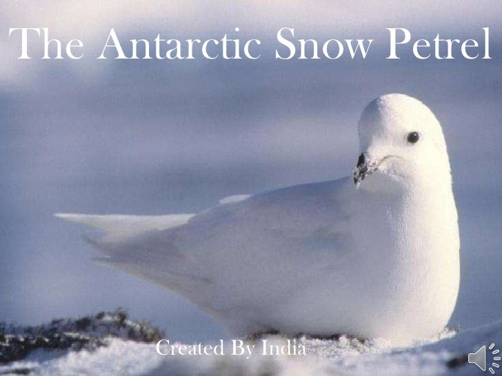 The Antarctic Snow Petrel Created By India