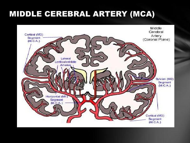 Anterior cerebral artery anatomy