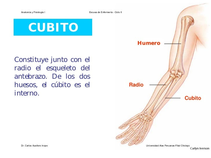 Contemporáneo La Imagen Del Hueso Cúbito Cresta - Anatomía de Las ...