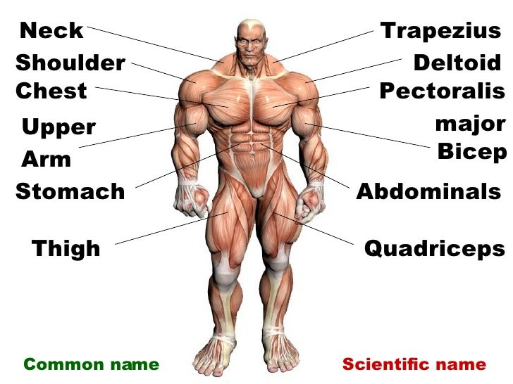 Image Result For Labeled Muscle Diagram Human