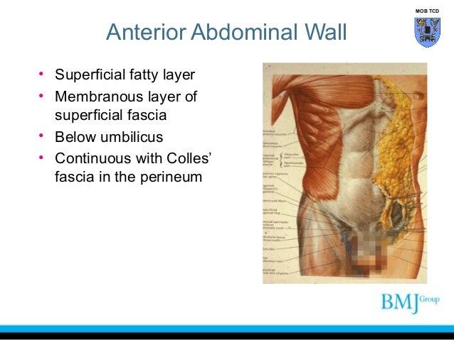 Abdominal musculature anatomy