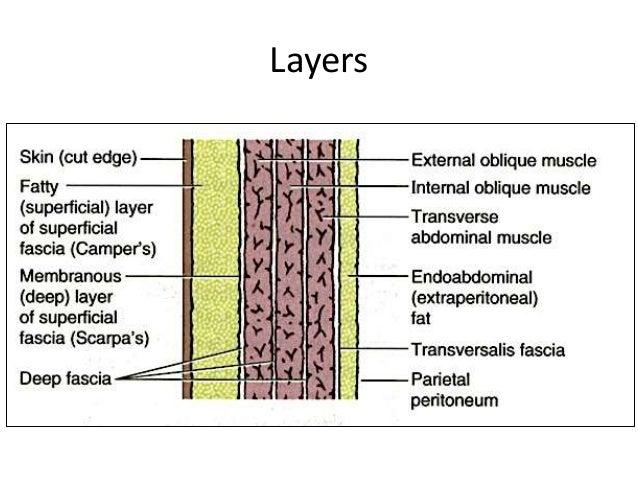 Anatomy of anterior abdominal wall