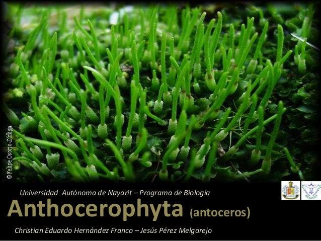 Anthocerophyta (antoceros) Christian Eduardo Hernández Franco – Jesús Pérez Melgarejo Universidad Autónoma de Nayarit – Pr...