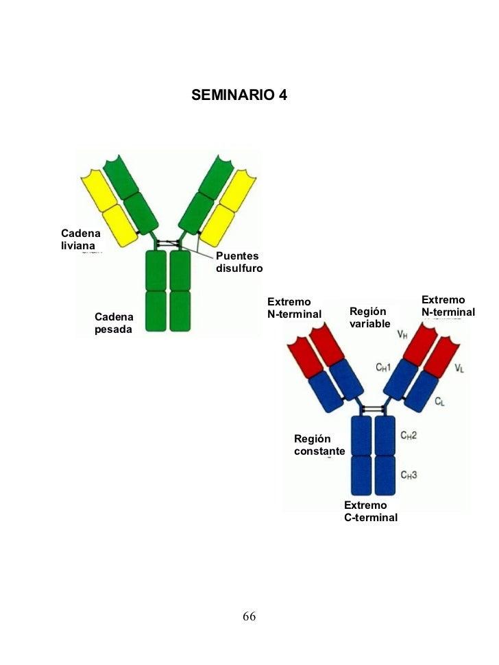SEMINARIO 4   Cadena pesada Cadena liviana Puentes disulfuro Extremo N-terminal Extremo N-terminal Región variable Región ...