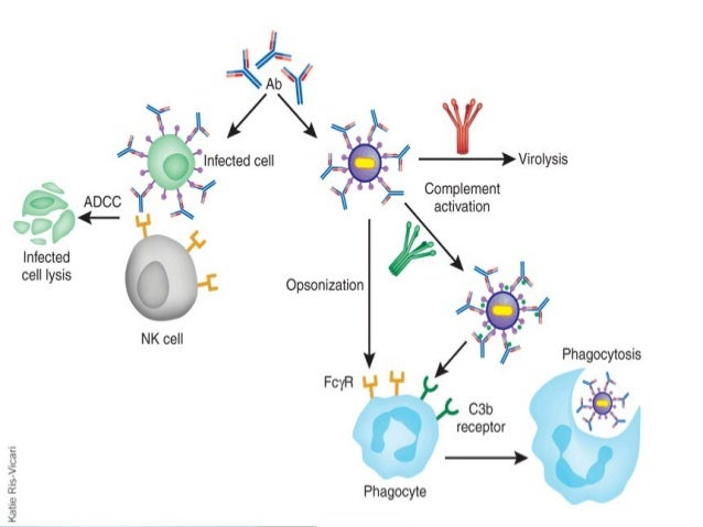 Antigen Antibody Reaction Elisa The gallery for -->...
