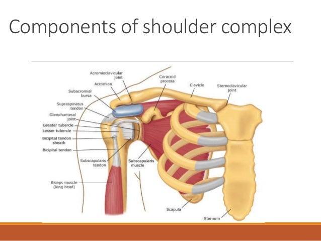 Shoulder joint diagram