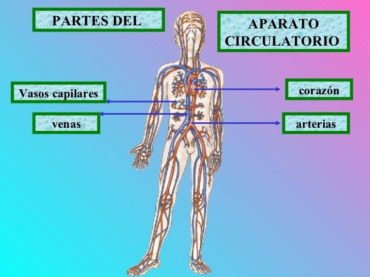3. PARTES DEL SISTEMA CIRCULATORIO - SISTEMA CIRCULATORIO HUMANO